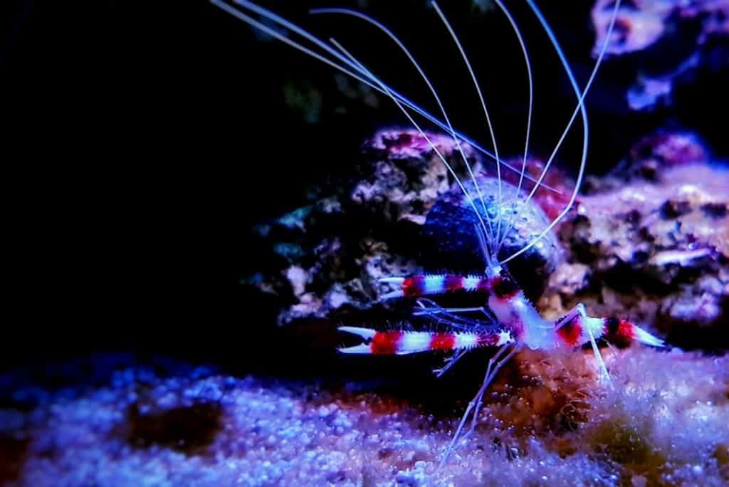 Gestreepte koraal garnaal